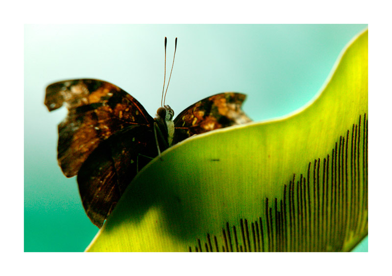 Butterfly photo & copyright  tobias plass